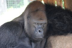 Gorilla di sonno Fotografia Stock