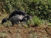Gorilla di sonno - beringei della gorilla Fotografia Stock Libera da Diritti