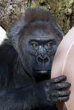 Gorilla di Stairing Immagini Stock Libere da Diritti