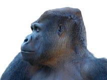 Gorilla die met witte achtergrond wordt geïsoleerdt Royalty-vrije Stock Foto's