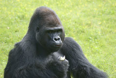 Gorilla. Dines at Berlin Zoo Stock Photos