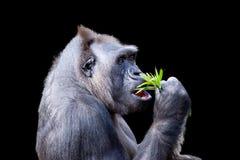 Gorilla Dining auf Laub Lizenzfreie Stockbilder