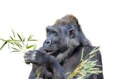Gorilla Dining op Gebladerte royalty-vrije stock foto