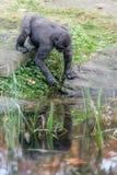 Gorilla door de pool die zijn voedsel krijgen royalty-vrije stock afbeelding