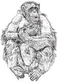Gorilla - drawing a seated monkey Stock Photos