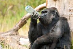 Gorilla drinking Stock Photo