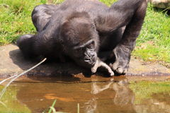Gorilla drinking water Royalty Free Stock Image