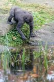 Gorilla durch das Pool, das seine Nahrung erhält lizenzfreies stockbild