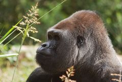 Gorilla e fiore Fotografie Stock Libere da Diritti
