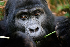 The gorilla eating. Gorillas are the largest of the living primates. They are ground-dwelling and predominantly herbivorous. They inhabit the forests of central Royalty Free Stock Photos