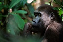 Gorilla eating. Portait of Gorilla. Gorillas are the largest of the primates Royalty Free Stock Photos