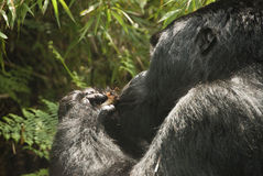 Gorilla eating Royalty Free Stock Photography