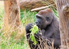 Gorilla eating Royalty Free Stock Image