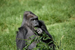 Gorilla Eating Stock Photography