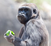 Gorilla eating apple. Adult gorilla eating a green apple Royalty Free Stock Images