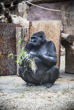 Gorilla. Stock Photography