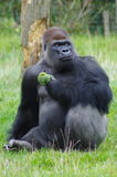 Gorilla Eating Broccoli. Large gorilla sitting upright, looking right, eating Broccoli in London Zoo Stock Photo