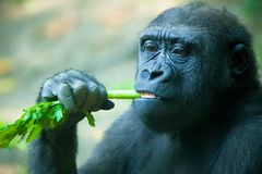 Gorilla Eating Celery Royalty Free Stock Images