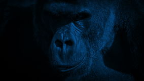 Gorilla Eating Closeup In The-Dark stock footage