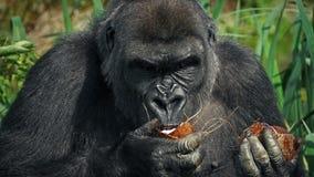 Gorilla Eating Coconut femenino almacen de metraje de vídeo