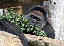 Gorilla eating food Stock Image