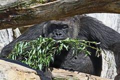 Gorilla eating food Royalty Free Stock Photo