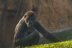 Gorilla eating grass Royalty Free Stock Photo