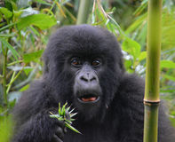 Gorilla eating in the jungle of Rwanda. Close up of face Stock Photography