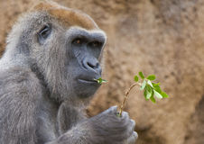 Gorilla eating leaves. An adult western lowland Gorilla eats leaves from branch royalty free stock images