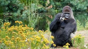 Gorilla is eating while looking in the camera. Sitting bij water and yellow flowers. Gorillas are ground-dwelling, predominantly herbivorous apes that inhabit royalty free stock image