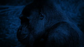 Gorilla Eating At Night almacen de video