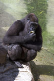 Gorilla Eating Orange Royalty Free Stock Photography