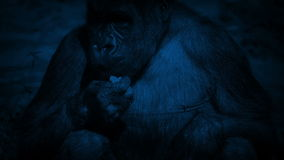 Gorilla Eating Plants At Night femenino almacen de metraje de vídeo