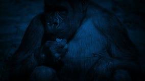 Gorilla Eating Plants At Night femminile video d archivio