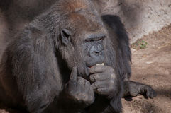 Gorilla eating and pointing finger. Stock Photography