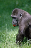 Gorilla Eating a Tomato. Side view of a gorilla eating a tomato in the tall grass Royalty Free Stock Photos