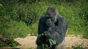 Gorilla Eating Vegetable At The Zoo. Big male silverback gorilla eats plants in the sun stock footage