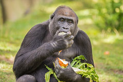 Gorilla eating vegetables Stock Photos