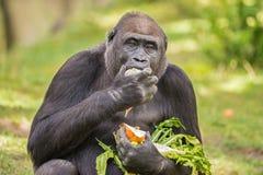 Gorilla eating vegetables Stock Photos