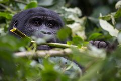 A gorilla eats leaves in the Impenetrable Forest royalty free stock image