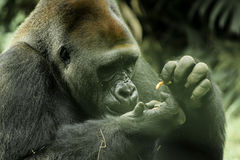 Gorilla Eats Something Imagenes de archivo