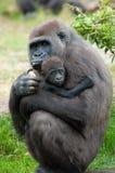 Gorilla ed il suo bambino Fotografia Stock Libera da Diritti
