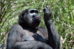 Gorilla-Eitelkeit Lizenzfreies Stockfoto
