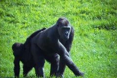 Gorilla en baby Stock Foto