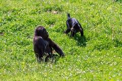 Gorilla en Mangabey-het spelen royalty-vrije stock foto
