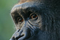 Gorilla eyes (captive) Stock Image