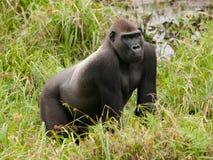 Gorilla för västra lågland i Mbeli bai, Republiken Kongo Arkivfoto