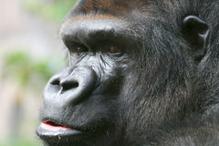 Gorilla Face Stock Image
