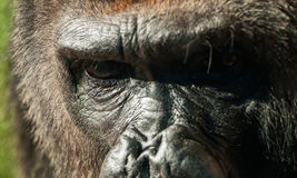 Gorilla face. Close-up of gorilla face and eyes stock image