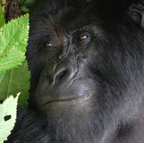 Gorilla face close up. Thoughtful expression Royalty Free Stock Images